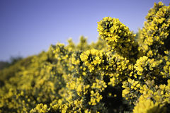 Gorse. Bush sharp yellow outdoor plant stock images