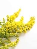 Gorse amarelo de florescência fotografia de stock