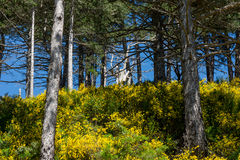 Gorse in the Aspromonte Royalty Free Stock Image