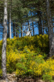 Gorse in the Aspromonte Royalty Free Stock Photos