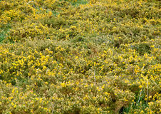 Gorse background Royalty Free Stock Photography
