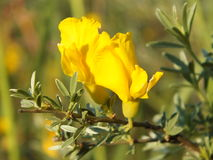 Gorse blossom. Beautiful Gorse yellow flowers. Ulex skythian Stock Images