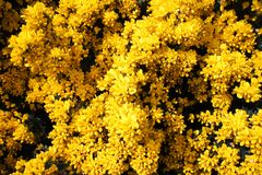 Gorse Blossom on west coast shoreline Scotland Stock Images