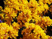 Gorse blossoms Stock Image