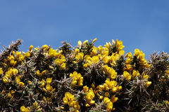 Gorse with blue sky background Royalty Free Stock Photo