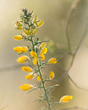 Gorse Branch In Spring Stock Photos