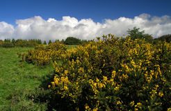 Gorse Bush Royalty Free Stock Photography