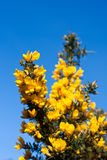 Gorse bush against a blue sky. A bright yellow gorse bush in spring, with blue sky in the background royalty free stock photo