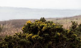 Gorse Bush. A bright yellow gorse bush stands out in the middle of a dreary winter Stock Photo