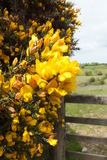 Gorse bush. Flowering gorse bush by a gate in the countryside Stock Photos