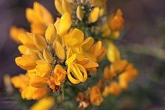 Gorse bush. Flowers on a gorse bush Royalty Free Stock Photography