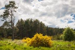 The Gorse bush,Ulex. Clour image of a Gorse bush, Ulex, seen in Roseisle forest, Moray, Scotland Royalty Free Stock Image
