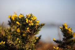 Gorse Bush Royalty Free Stock Images