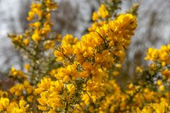A Gorse Bush. Yellow flowers on a gorse bush in Sussex Stock Photo