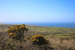 Gorse bushes and fields Cornwall England. Yellow flowers of the prickly Gorse bush and farm fields in Cornwall England Stock Photos