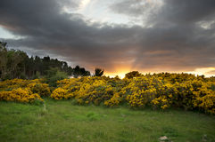 Gorse bushes at sunrise. Gorse bushes and a pine wood illuminated by sunrise rays with dark ominous clouds overhead stock images