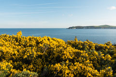 Gorse on a cliff Douglas Isle of Man. Beautiful sweet smelling yellow gorse bushes on a rocky cliff overlooking Douglas Bay on the Isle of Man British Isles Royalty Free Stock Photos