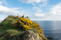 Gorse on a cliff Douglas Isle of Man. Beautiful sweet smelling yellow gorse bushes on a rocky cliff overlooking the Irish Sea on the Isle of Man British Isles Royalty Free Stock Photo