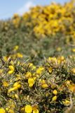 Gorse Close Up Royalty Free Stock Photos