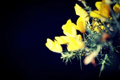 Gorse closeup  Royalty Free Stock Photography
