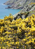 Gorse on Cornish Coast Royalty Free Stock Image
