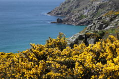 Gorse on Cornish Coast Stock Photography