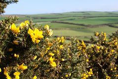 Gorse and country Stock Images