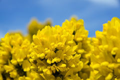 Gorse flower in bloom stock images