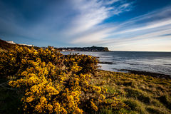 Gorse in flower Stock Photo