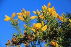 Gorse Stock Photography