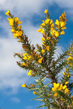 Gorse Flowers. Yello gorse Flowers against an autumn sky Royalty Free Stock Photo