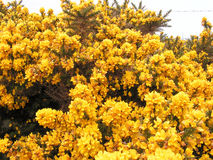 Gorse Flowers. A gorse bush flowering in springtime scotland Royalty Free Stock Image