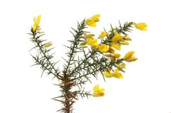 Gorse flowers and foliage. Gorse flowers and prickly foliage isolated against white Royalty Free Stock Images