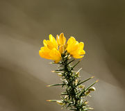 Gorse Flowers Royalty Free Stock Photography
