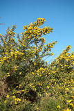 Gorse. Or furze or whin (Ulex europaeus Royalty Free Stock Images