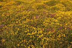 Gorse & Heather. Flowering heather & gorse cover Dartmoor with colorful flowers all summer Stock Images