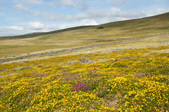 Gorse and heather flowers. Hillside moorland with yellow gorse and purple heather flowers leading to a stone wall and grass fields, a blue cloudy sky in the Royalty Free Stock Photos