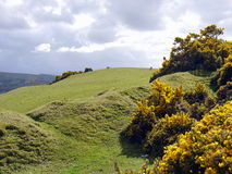 Gorse. A hilly meadow with tumbled gorse bushes under cloudy skies Stock Images