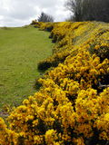 Gorse. A hilly meadow with tumbled gorse bushes under cloudy skies Stock Image