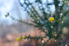 Gorse in Landes Forest, France, Europe Stock Image