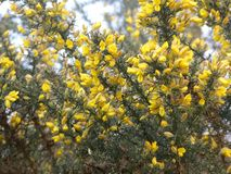 Gorse plant flowers blooming in spring royalty free stock photography