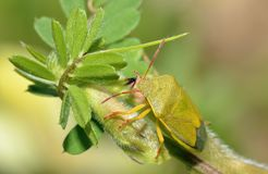 Gorse Shieldbug. Piezodorus lituratus Royalty Free Stock Photography