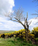 Gorse with tree Royalty Free Stock Photography