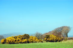 Gorse, or ulex-europaeus, in bloom Royalty Free Stock Photo