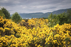 Gorse, Ulex europaeus. Masses of Gorse, Ulex europaeus, on the shores of Loch Ness in the Highlands of Scotland Royalty Free Stock Photo