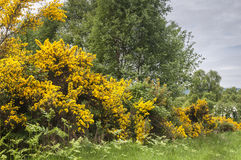 Gorse, Ulex europaeus. Masses of Gorse, Ulex europaeus, on the shores of Loch Ness in the Highlands of Scotland Stock Photos