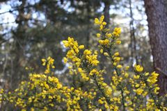 Gorse yellow flower royalty free stock photography