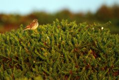 Gorseland Skylark Royalty Free Stock Photos