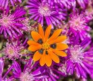 Gorteria diffusa wildflower Obrazy Royalty Free