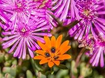 Gorteria diffusa wildflower Zdjęcia Stock
